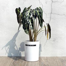 黑叶观音莲盆绿植花卉盆栽开运植物盆栽小仙女祥芋进化空气