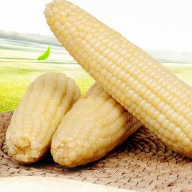 【限乌市地址!】有机甜糯玉米 速冻非转基因(10根/件,3.5kg左右)