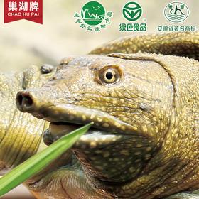 【安徽生鲜】巢湖牌生态外塘活体甲鱼