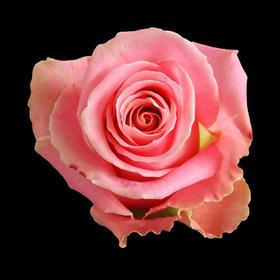 【菲集】厄瓜多尔农场直供 玫瑰花 鲜花 hermosa 爱莎 鲜切花