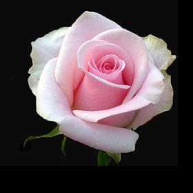 【菲集】厄瓜多尔农场直供 玫瑰花 鲜花 TITANIC 泰坦尼克 鲜切花