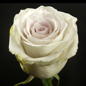 【菲集】厄瓜多尔农场直供 玫瑰花 鲜花 EARLY GREY 晨曦 鲜切花