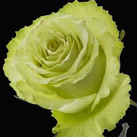 【菲集】厄瓜多尔农场直供 玫瑰花 鲜花 lemonade 柠檬汽水 鲜切花