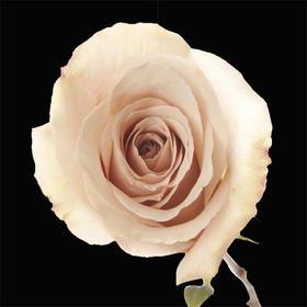 【菲集】厄瓜多尔农场直供 玫瑰花 鲜花 Quick sand 流沙 鲜切花