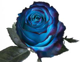 【菲集】厄瓜多尔农场直供  染色玫瑰 单色染 Sweetness-Blue 蓝色甜心
