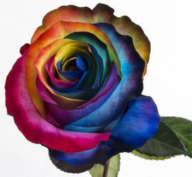 【菲集】厄瓜多尔农场直供 Sweetness-Rainbow 七彩甜心 染色玫瑰