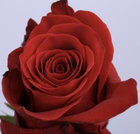 【菲集】厄瓜多尔农场直供玫瑰花 scarlatta 红玫瑰 进口鲜花 鲜切花