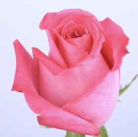 【菲集】厄瓜多尔农场直供 玫瑰花 鲜花 Topaz 托帕 鲜切花