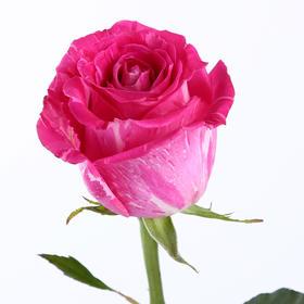 【菲集】厄瓜多尔农场直供玫瑰花 Wild Topaz 玫红大理石 进口鲜花 鲜切花