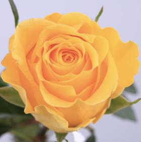 【菲集】厄瓜多尔农场直供玫瑰花 brighton 布莱顿 进口鲜花 鲜切花