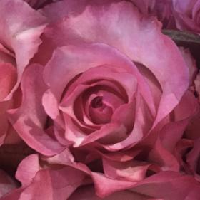 【菲集】厄瓜多尔农场直供玫瑰花 juanita 胡安妮塔 进口鲜花 鲜切花
