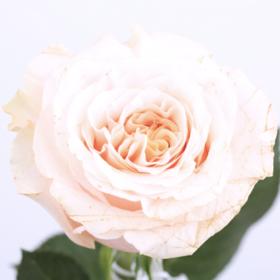 【菲集】厄瓜多尔农场直供 玫瑰花 鲜花 shimmer 微光 鲜切花