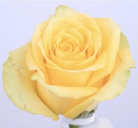 【菲集】厄瓜多尔农场直供玫瑰花 stardust 星辰 进口鲜花 鲜切花