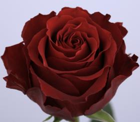 【菲集】厄瓜多尔农场直供玫瑰花 Amada 天田 进口鲜花 鲜切花