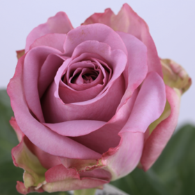 【菲集】厄瓜多尔农场直供玫瑰花 cool water 冷美人 进口鲜花 鲜切花