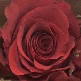 【菲集】厄瓜多尔农场直供玫瑰花 undercover 红玫瑰 进口鲜花 鲜切花