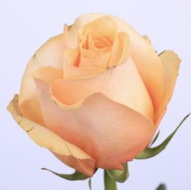 【菲集】厄瓜多尔农场直供玫瑰花 peach love 进口鲜花 鲜切花