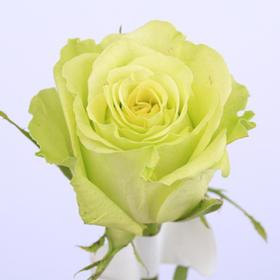 【菲集】厄瓜多尔农场直供玫瑰花 Super Green 超级绿 进口鲜花 鲜切花