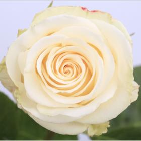 【菲集】厄瓜多尔农场直供玫瑰花 alessia 阿莱西亚 进口鲜花 鲜切花