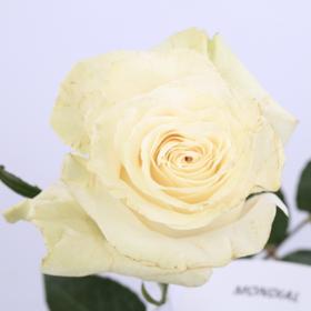 【菲集】厄瓜多尔农场直供 玫瑰花 鲜花 Mondial 蒙代尔 鲜切花