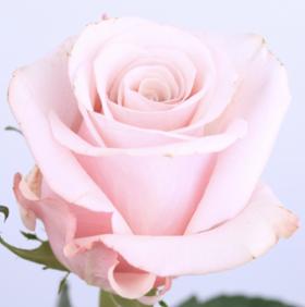 【菲集】厄瓜多尔农场直供 玫瑰花 鲜花 Mother of Pearl 贝母 鲜切花
