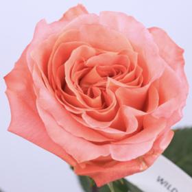 【菲集】厄瓜多尔农场直供玫瑰花 wild spirit 原野精灵 进口鲜花 鲜切花