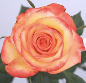 【菲集】厄瓜多尔农场直供玫瑰花 high & magic 高魔法 进口鲜花 鲜切花