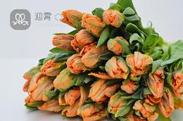 进口鹦鹉郁金香(橘色)Tulipa 10支/扎 顺丰到付