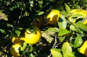【现摘直邮】古田脐橙(超甜)12斤特惠最低只要50元邮,速抢