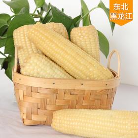 东北甜糯白玉米10穗