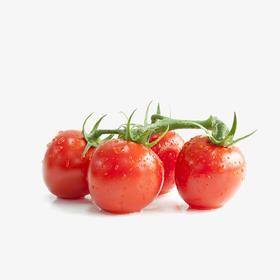 水果番茄(千禧)