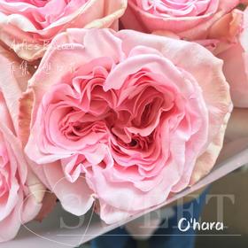 【菲集】花园玫瑰 O'Hara 粉欧哈 11支进口玫瑰高档礼盒装 厄瓜多尔农场直供