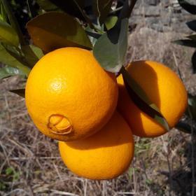 秭归脐橙老脐橙新鲜水果5斤包邮果园现摘现发