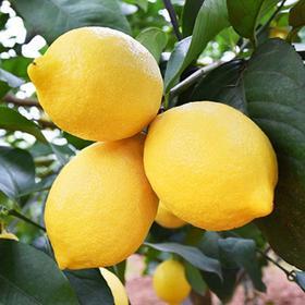 帮卖精选 | 四川安岳新鲜柠檬 酸嫩多汁 超开胃 特大果2斤装 3-6个