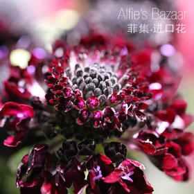 【菲集】厄瓜多尔农场直供 花束填充配花 蓝壶 蓝盆花