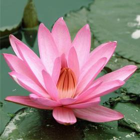 粉莲花原精 抚平皱纹 减缓老化 净化身体和心灵 - 印度