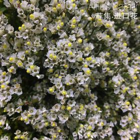 【菲集】厄瓜多尔农场直供 星辰 水晶草 花束配花 进口花材
