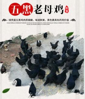 【北坡村】两年期南山散养鸡(五黑鸡、柴母鸡)