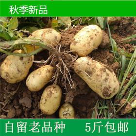 新蔬菜土豆上市2500g