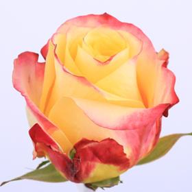【菲集】厄瓜多尔农场直供 玫瑰花 鲜花 Hot merengue 火热美伦格 鲜切花