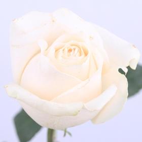 【菲集】厄瓜多尔农场直供玫瑰花 vendela 进口鲜花 鲜切花
