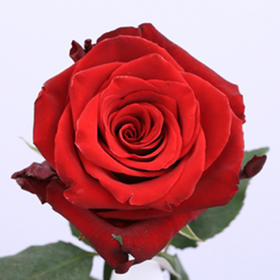 【菲集】厄瓜多尔农场直供玫瑰花 explorer 探险家 红玫瑰 进口鲜花 鲜切花
