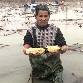安徽蚌埠300多万斤有机莲藕滞销 人工采挖 帮扶藕农过好年 5斤 19.9元 急盼您的爱心参与和转发