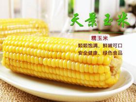 天景东北玉米 软糯鲜香 皮薄饱满 餐桌上的健康粗粮 老少皆宜