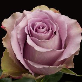 【菲集】厄瓜多尔农场直供玫瑰花 grey Knights 灰骑士 鲜切花 进口玫瑰