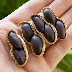 20万斤纯天然无任何添加村民种的富硒黑花生特价出售!肉质饱满、松脆可口,高营养。