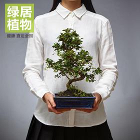 【绿居植物】茶花盆景室内小绿植花卉盆栽办公室植物送礼年货礼品(关注微信送接水碟,任意购买2件送肥料,任3件送花剪)