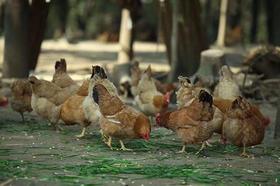 468元认养两只鸡 天天有蛋吃[【荆门晚报绿壳蛋年卡】