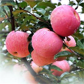 烟台栖霞红富士脆甜孕妇水果纯天然不打蜡圣诞平安果特产