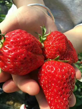 欣荣草莓套票(一箱三斤草莓、一张草莓采摘门票等)请备注草莓品种